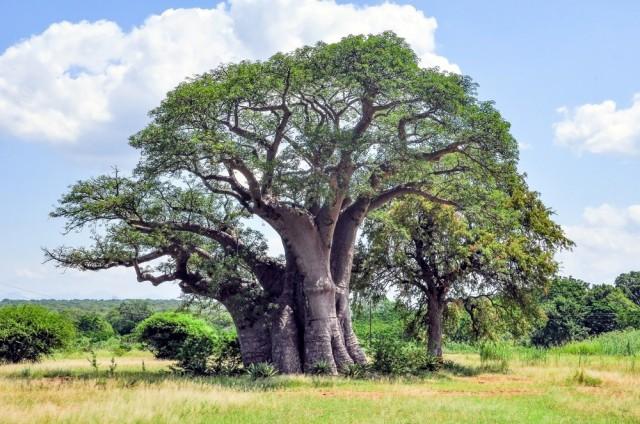 12.04.2019 Baobab (2)